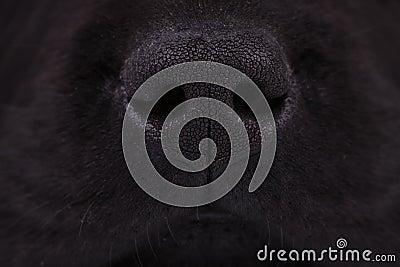 Nose of a black labrador retriever puppy dog