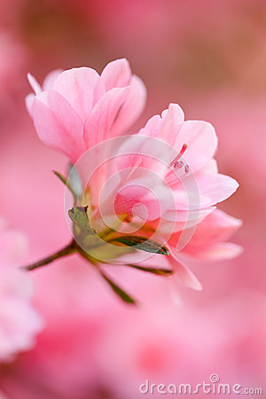Pink azalea close up