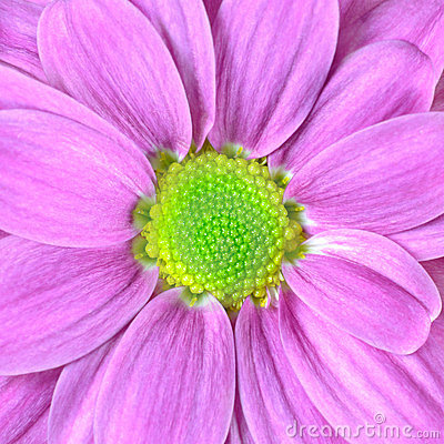 Macro of Pink Dahlia Flower with Lime Green Center