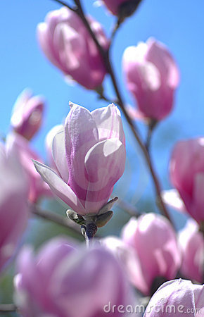 Macro of Pink magnolia flower tree