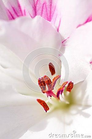 Macro of pollen on stamen