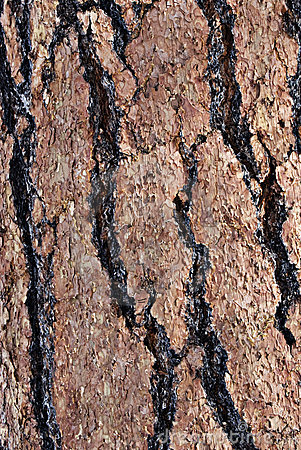 Macro Ponderosa Pine Bark