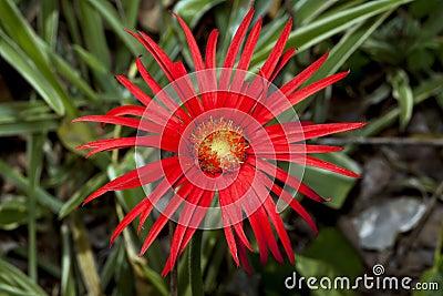 Macro of red daisy