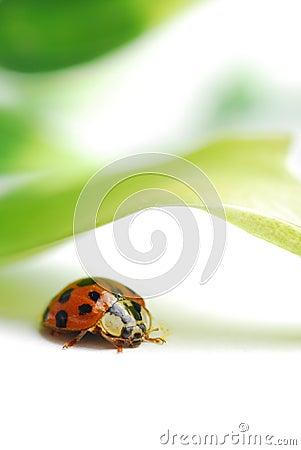 Macro red ladybug
