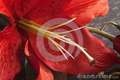 Macro of Red Tiger Lily on Script Written Background