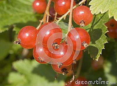 Macro of ripe redcurrant