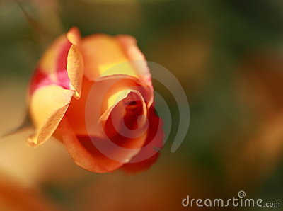 Macro of rose with pink and yellow petals