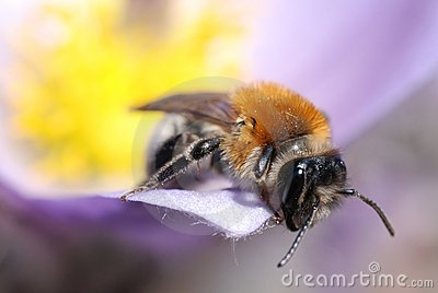 Macro shot of bee on spring flower