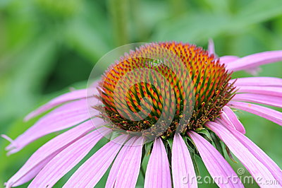 Macro shot of the flower (echinacea)