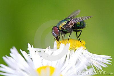 Macro shot of a fly