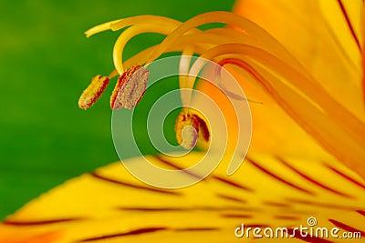 Macro Shot of a Freesia with Pollen