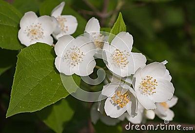 Macro shot of jasmine flower