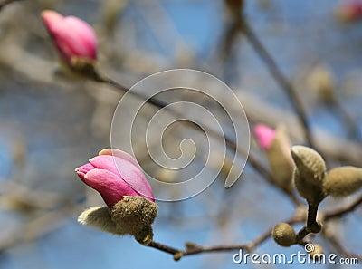 Macro shot of magnolia bud in March