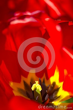 Free Macro Shot Of Red Dutch Tulip Against Blurred Background Stock Photos - 102672403