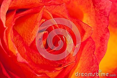 Macro shot of an orange rose