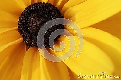 Macro shot of yellow black-eyed susan