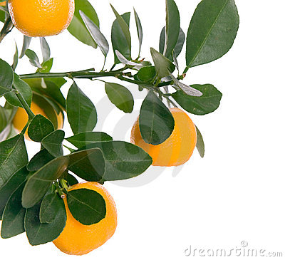Free Macro Small Orange On Tree Stock Image - 3475251