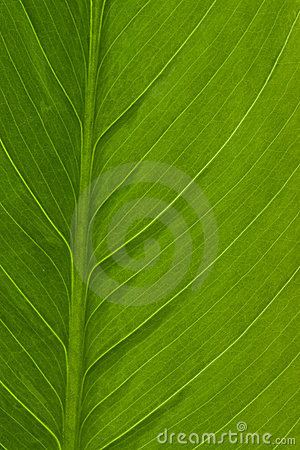 Macro of Spathiphyllum leaf
