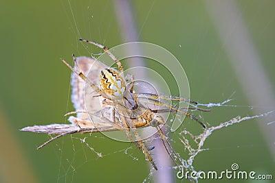 Macro spider and his victim