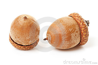 Macro of two acorns