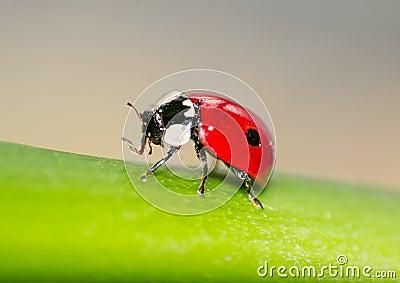 Macro van een rood onzelieveheersbeestje