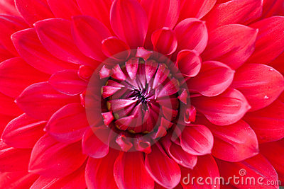 Macro view of red flower dahlia