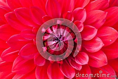 Macro view of red flower dahlia