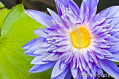 Macro of violet lotus