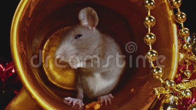 Macro vue d'un rat domestique gris se déplaçant dans un pot d'or, symbole du Nouvel An 2020 banque de vidéos