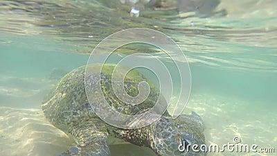 Macro vue de grande tortue olive dans l'eau sur la côte de la plage de tortue dans Hikkaduwa, Sri Lanka dans l'Océan Indien banque de vidéos