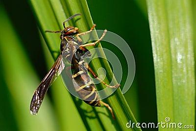 Macro of Wasp on Daylily Leaf.