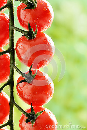 Free Macro - Water Droplets On Tomato Plant Royalty Free Stock Photo - 35964965