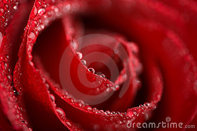 Macro of wet red rose