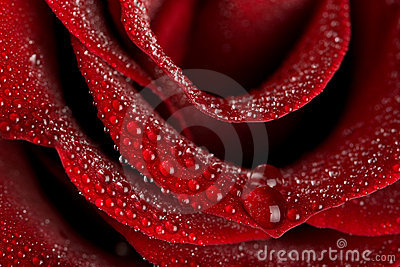 Macro of wet rose