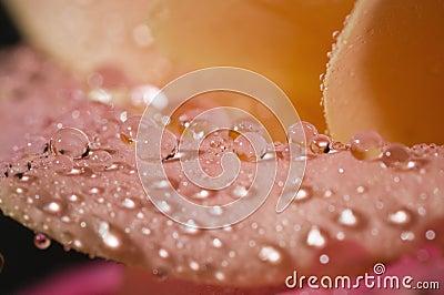 Macro of wet rose petals