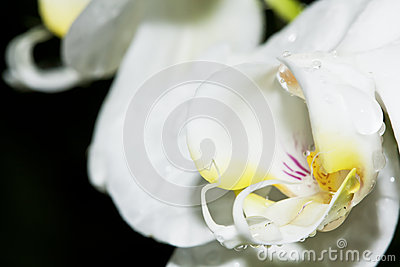Macro of wet white orchid