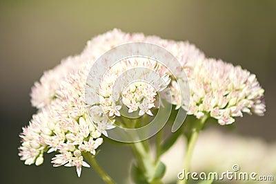 Macro of yarrow herb
