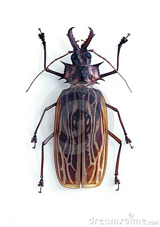 Free Macrodontia Cervicornis Stock Photo - 10271990