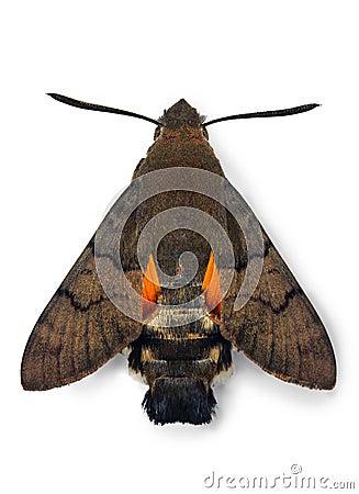 Macroglossum stellatarum hawk-moth