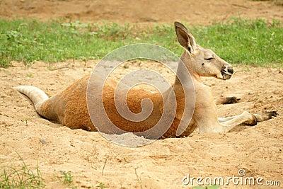 袋鼠macropus红色rufus