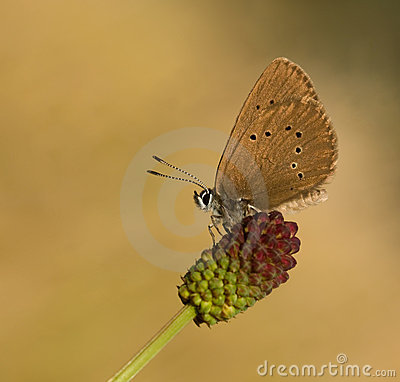 Free Maculinea Nausithous Butterfly In The Sky Royalty Free Stock Photography - 11258887