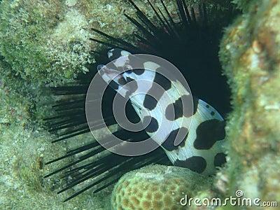 Maculosus myrichthys, ocean eel