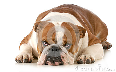 Mad dog - english bulldog laying down with sour expression isolated on ...