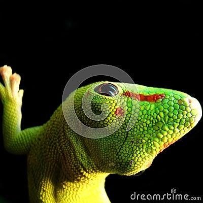 Free Madagascar Giant Day Gecko Royalty Free Stock Image - 12261036