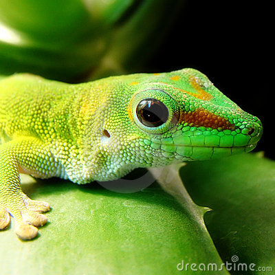 Free Madagascar Giant Day Gecko Royalty Free Stock Photo - 12261055