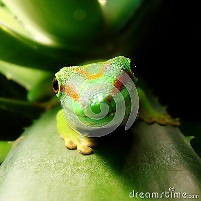 Free Madagascar Giant Day Gecko Royalty Free Stock Photos - 12261058