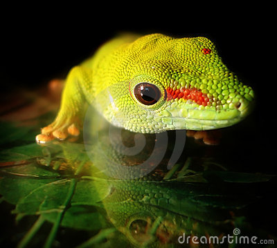 Free Madagascar Giant Day Gecko Royalty Free Stock Photo - 12261075