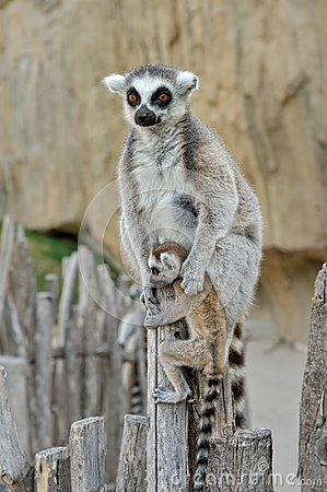 Madagascar s ring-tailed lemur  with the cub