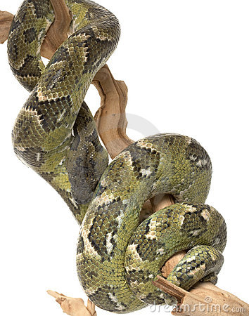 Free Madagascar Tree Boa Stock Image - 7959891
