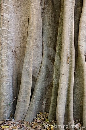Madagascar tree trunk